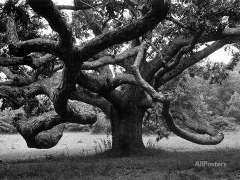 alfred-eisenstaedt-giant-oak-tree-on-martha-s-vineyard